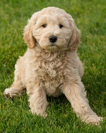 California Goldendoodles