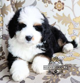 availablebernedoodlepuppies