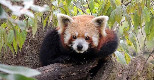 Red Panda At Darjeeling Zoo