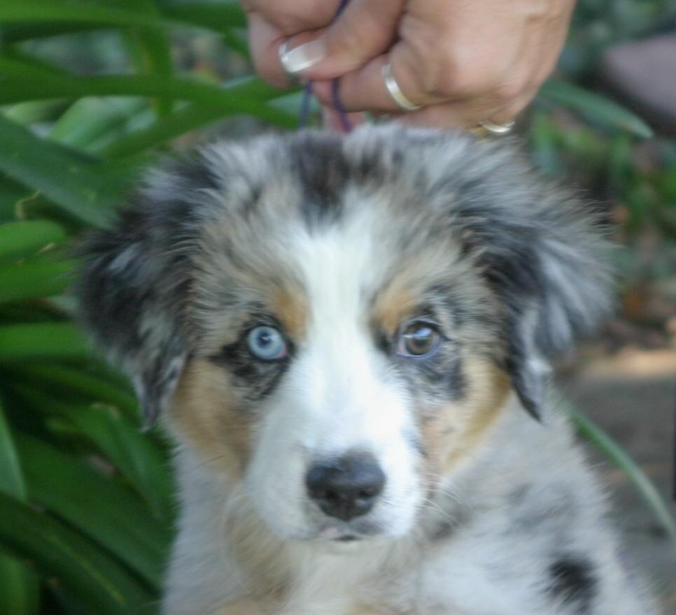 Puppies | Treasures Miniature American Shepherds