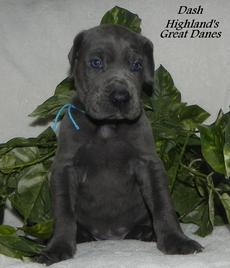 Blue Great Dane Breeder - Highlands Great Danes