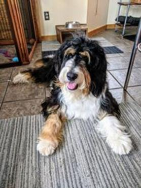 Tricolor adult Bernedoodle straight hair