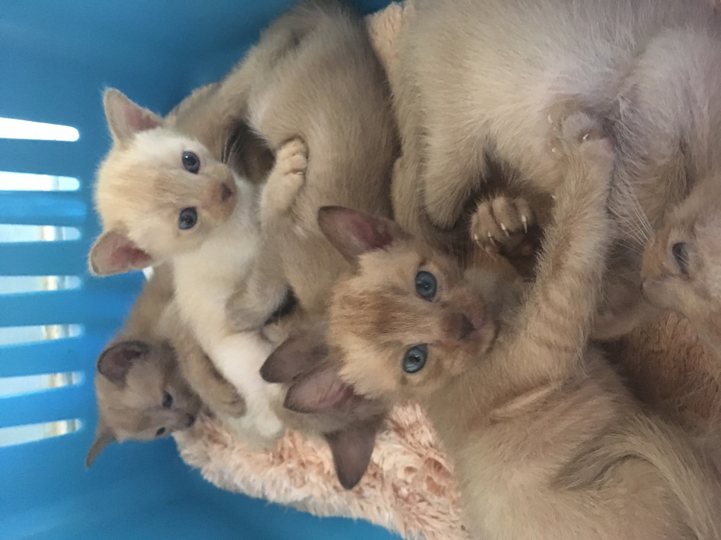 indian Spring Cats - Burmese Siamese Tonkinese Cats