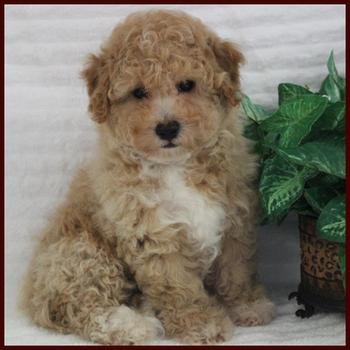 Poochon Puppy for sale near me