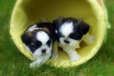 Contact us near Minneapolis, Minnesota to adopt a purebred, Sweetwater Shih Tzu