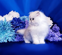 Teacup Persian Kittens For Sale in Texas, CFA Pet Silver-Chinchilla