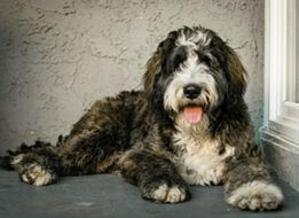 adult brindle bernedoodle