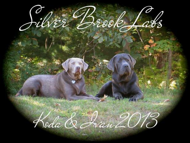 Silver Brook Labs - AKC Labrador Puppies