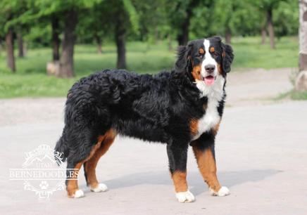 Nova Bernese Mountain Dog