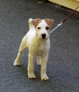 Huckle Hill Jewel Jack russell