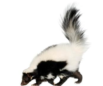 A skunk representing our odor removal services