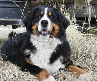 Rain Bernese Mountain Dog