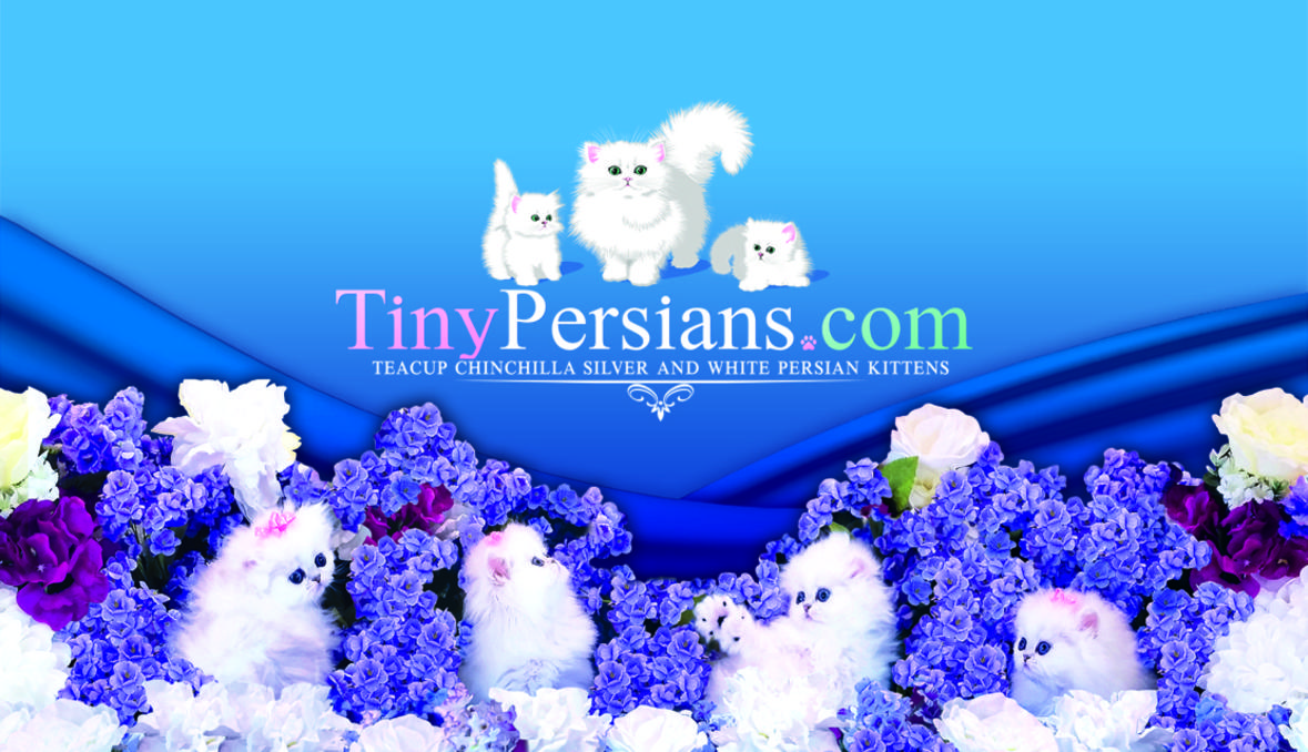 2019 Persian kittens for sale reputable CFA Texas cat breeder
