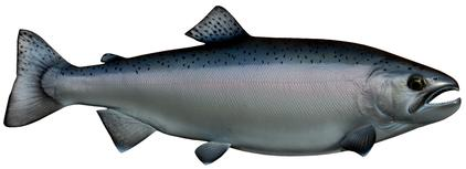 lake ontario coho salmon