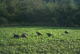 Kentucky turkey in food plots