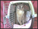 Clever Cats Livonia carrier training for vet visit