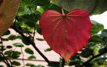 A heart shaped leaf to emphasize Simply Tree Care loves the work we do trimming trees in Omaha NE