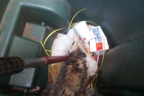 Emergency Opossum Removal in Edmond by Skunk Bait Wildlife Control