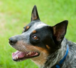 Texas Cattle Dog Rescue blue heeler