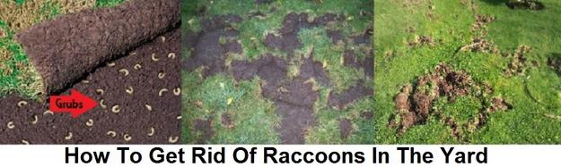 Raccoon Removal Control Prevention We Get Rid Of Raccoons