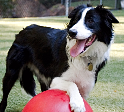 Border collie at our dog day care near Walnut Creek, CA