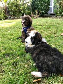 brindle bernedoodle puppies