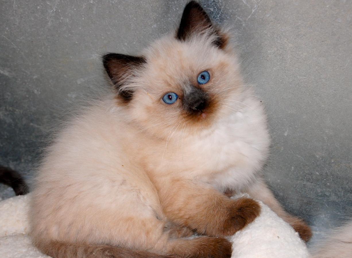 Mid Michigan Ragdoll Cats - Ragdoll Kittens For Sale in Michigan ...