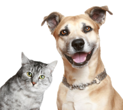 Stock photo of gray cat and brown dog looking into the camera. Cute. Happy. Dog Looking at Camera