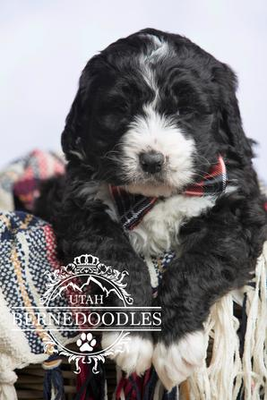 Black and White Bernedoodle Puppies