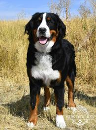 Luna Bernese Mountain Dog