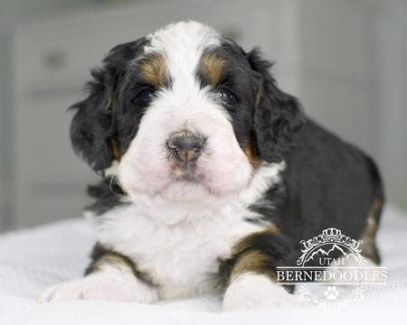 Flashy-Tricolor-Mini-Bernedoodle