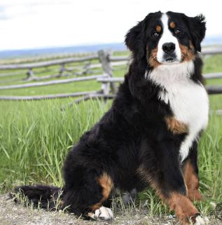 Monroe Bernese Dog