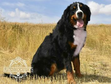 Rose Bernese Mountain Dog