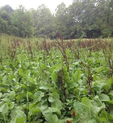chicory food plot