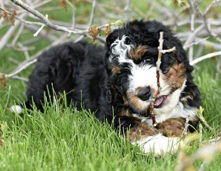 Bernedoodle training