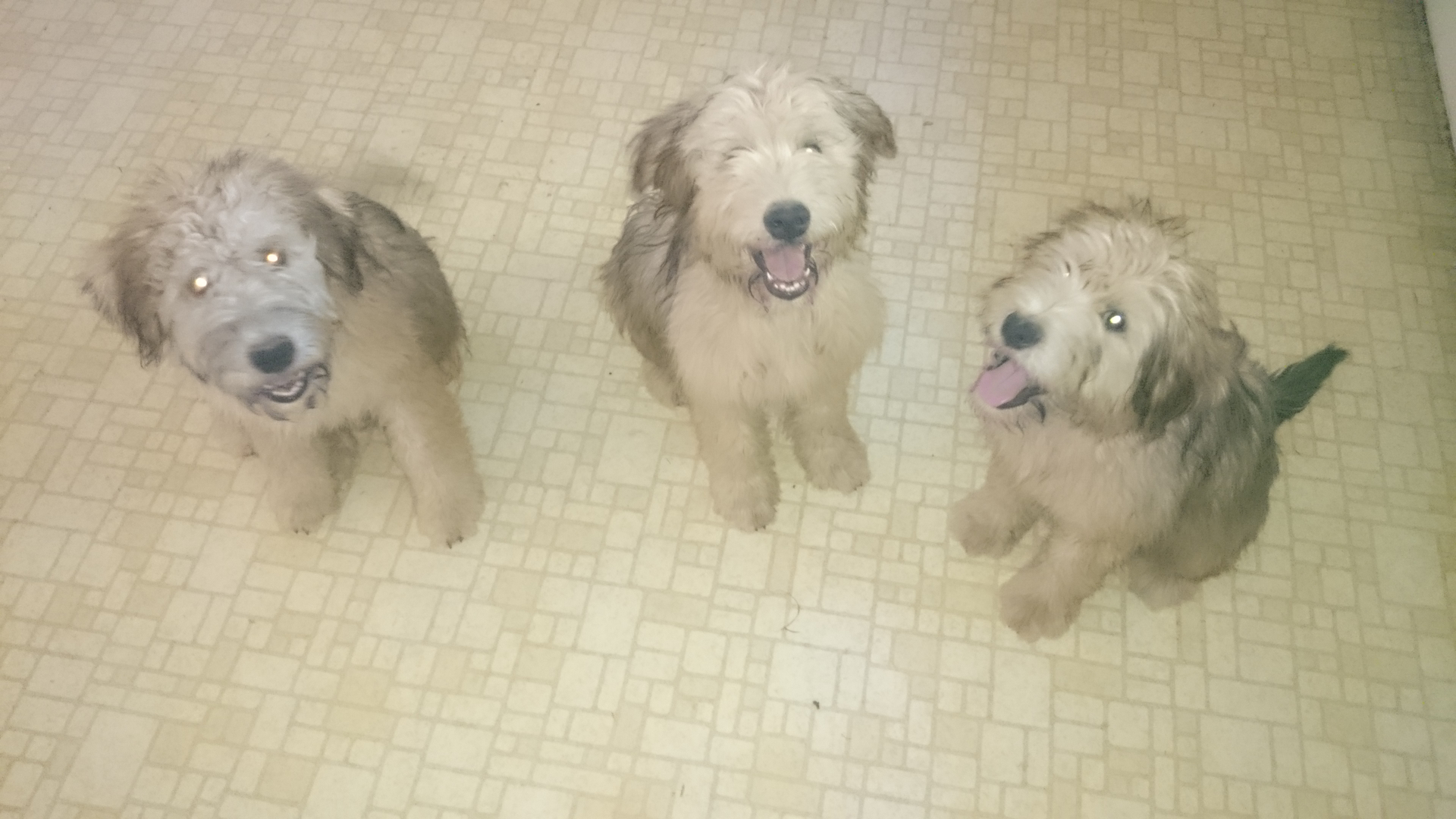 Sunny Vale Puppies - Soft Coated Wheaten Terrier Puppies, Hypo ...
