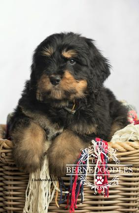 Phantom Bernedoodle Puppies