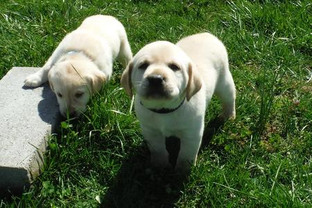 white lab puppy for sale