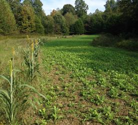 brassica stripped food plot