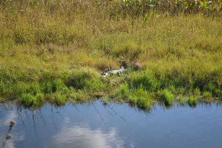 Alligator Hunting Photography