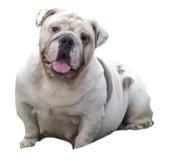 English Bulldogge