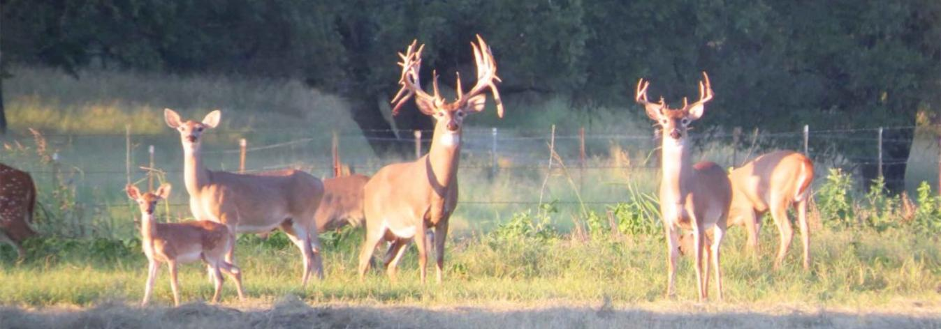 Texas Whitetail Deer Breeding