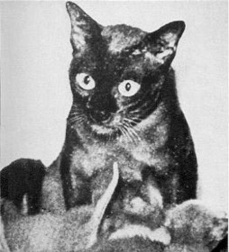 Wong Mau: The Mother of all Burmese Cats