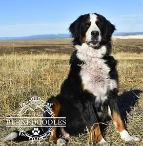 Bernese Female Dogs - Bernedoodles Breeder