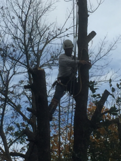 CLose up of climber removing dead ash tree in stoney creek, ontario