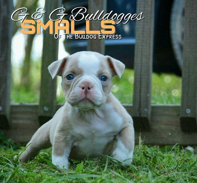 The Bulldog Express Rare Olde English Bulldogges English