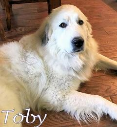 Toby Wells Providence Great Pyrenees