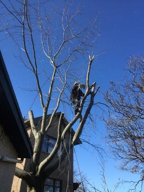 Commercial Tree Removal, Grimsby Tree Services, Climber in tree grimsby beach