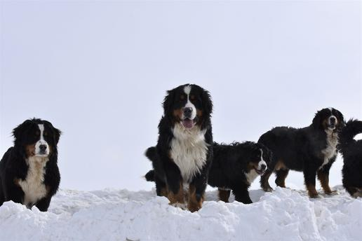 Giant Bernedoodles on Winter - Utahbernedoodles