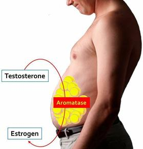 male estrogen and belly fat